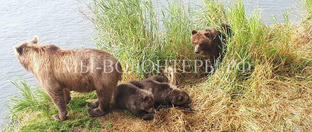 Медведица «усыновила» осиротевшего медвежонка