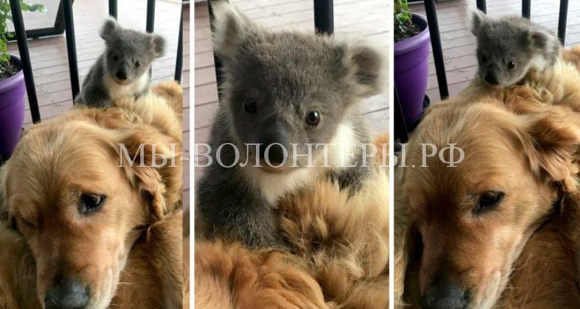 Ретривер Аша спасла от холода замерзающую коалу