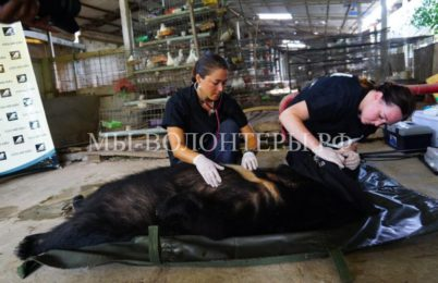 Спасение гималайских медведей с вьетнамских ферм по сбору желчи