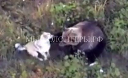 Лайка живет в тайге в семье медведей