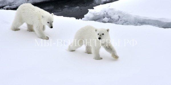 Мобильные пункты по спасению белых медвежат создадут на севере Красноярского края