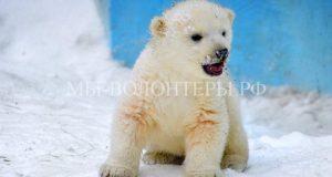 Медвежонка, потерявшего маму, спасли и увезли в зоопарк Красноярска