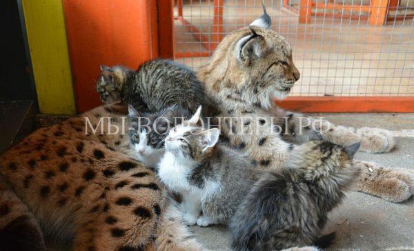 Рысь взяла под опеку четверых котят