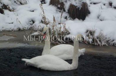 Два раненых лебедя пришли за помощью к человеку