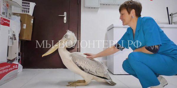 В Кемерово спасли пеликана, сбившегося с курса при перелете