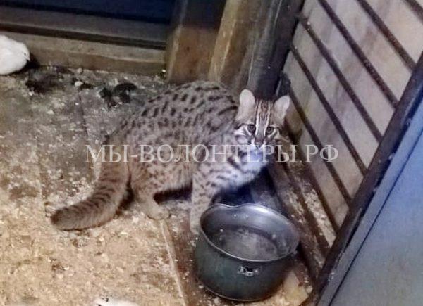 Спасен краснокнижный котенок-подкидыш