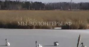 Спасение лебедей, замерзающих на озере