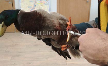 Спасение утки, которая со связанными лапами отбивалась от чаек