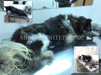 Сегодня кабинет груминга посетила собачка Тигрик, у нее оказался белый хвостик