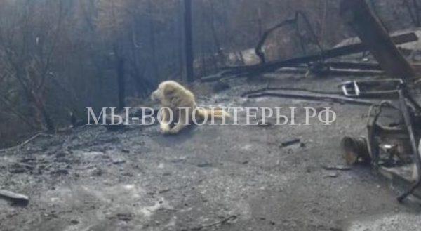 Пес месяц ждал хозяев у руин их сгоревшего дома