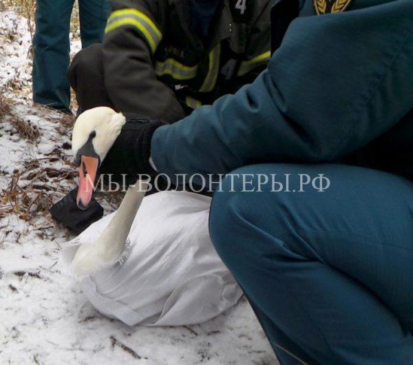 Жители Калининграда спасли лебедя, врезавшегося в стену