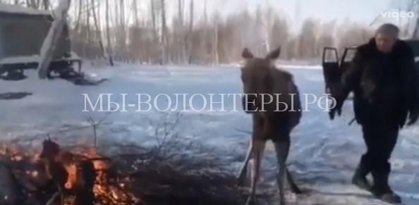 Спасение замерзающего лосенка, просидевшего ночь в сугробе