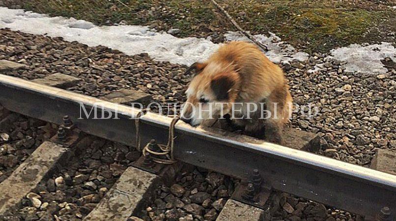 Машинист остановил электричку, чтобы спасти привязанную к рельсам собаку