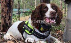 В Австралии коммунальные службы используют собак для поиска утечки воды из трубопровода