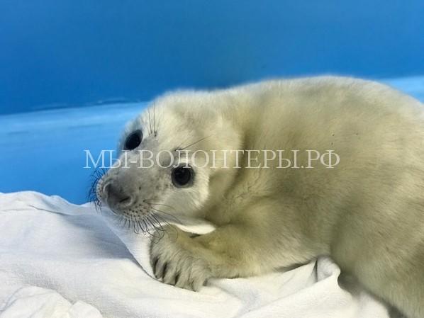 Спасение новорожденного тюлененка, оставшегося без мамы