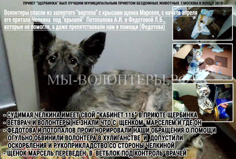 Волонтеры спасли из запертого «вертепа» с крысами щенка Марселя, его прятала Челкина под «крышей» Потопалова и Федотовой