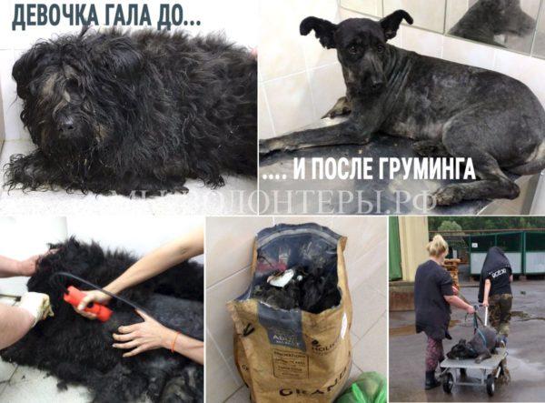 Груминг девочки Галы: Мария Трофимова «йети» преобразила в «модельную» собаку..