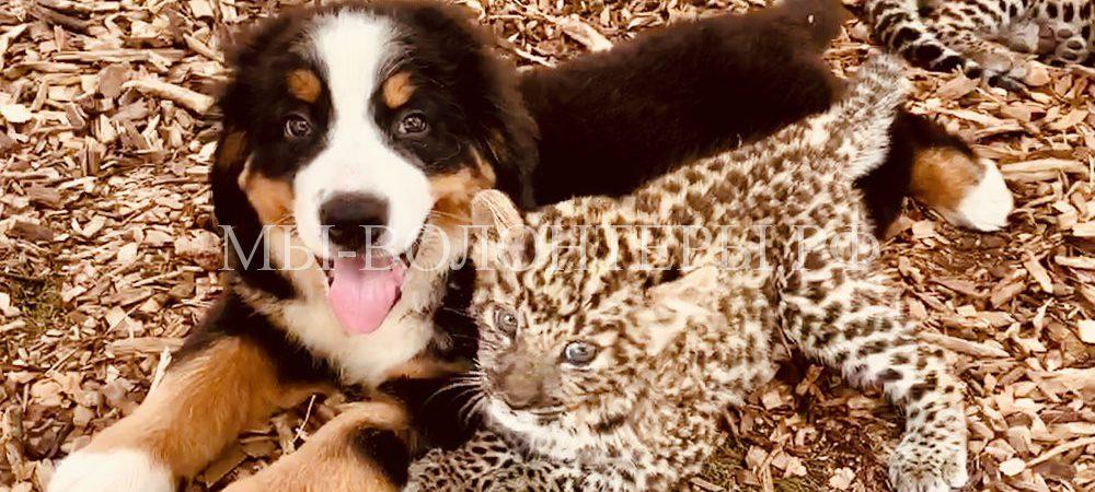 В Краснодаре щенок взял под опеку детенышей леопарда и тигра