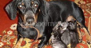 Такса Линда, которую когда-то спасли с улицы, стала мамой для четырех осиротевших котят