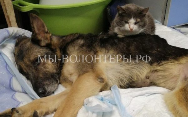 Кот помогает выхаживать спасенную из живодерни собаку