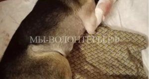 Искалеченная собака, как могла, оберегала свое потомство