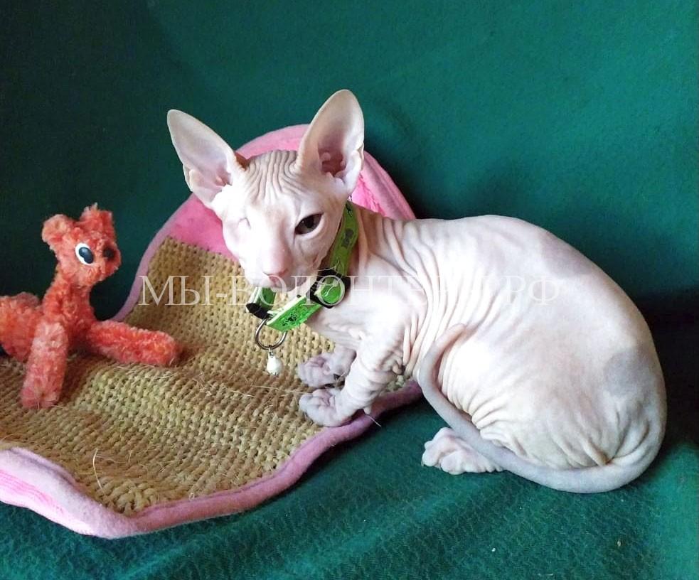 Котенок сфинск прохор после удаления глазика у мамы лены