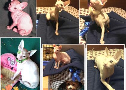 Красавец Прохор (котенок донской сфинкс, 3 мес) передает всем привет из своего нового дома!