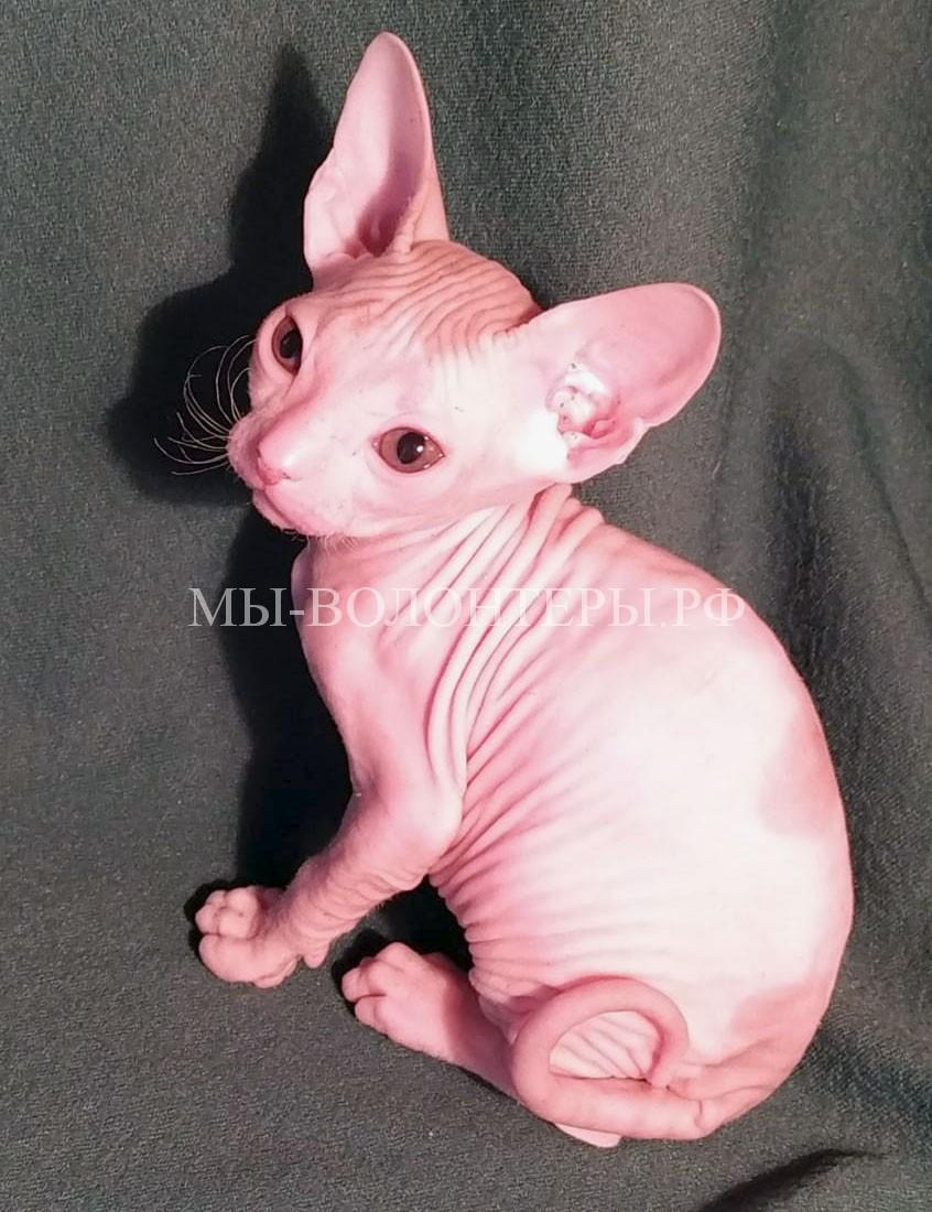Котенок сфинкс Проша-до-травмы